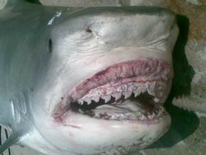 Tiger shark with human remains