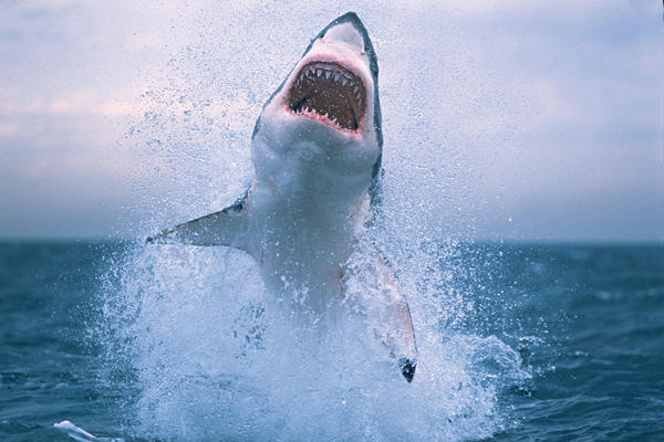 Great White Sharks Jumping